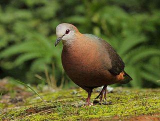 Lemon dove species of bird