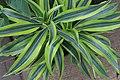 Dracaena deremensis Warneckii 1zz.jpg