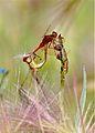 Dragonfly hanky-panky (6048447810).jpg