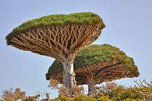 Dracaena draco  Wikipedia la enciclopedia libre