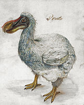 "Painting of a grey dodo, captioned with the word ""Dronte"""