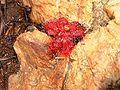 Drosera trnervia 2.jpg
