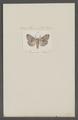 Drynobia - Print - Iconographia Zoologica - Special Collections University of Amsterdam - UBAINV0274 056 08 0041.tif