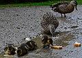Duck (14957978667).jpg
