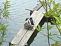 Duck - panoramio (4).jpg