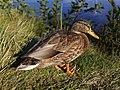 Duck in Varkaus.jpg