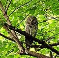Dugorepa sova (Strix uralensis), odrasla jedinka; Ural owl adult.jpg