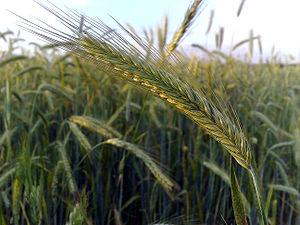 Rye - Image: Ear of rye