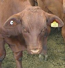 National Livestock Identification System Wikipedia
