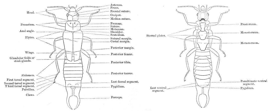 Anatomie (insecten) - Wikiwand
