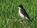 Eastern Kingbird (8810690822).jpg