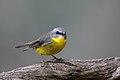 Eastern Yellow Robin (Eopsaltria australis) (42280188404).jpg
