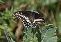Eastern black swallowtail (72098).jpg