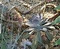 Echeveria gibbiflora metallica 0zz.jpg