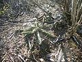 Echinocereus pentalophus ssp. pentalophus (5699310389).jpg