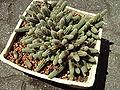 Echinopsis chamaecereus.2006-06-01.1.uellue.jpg