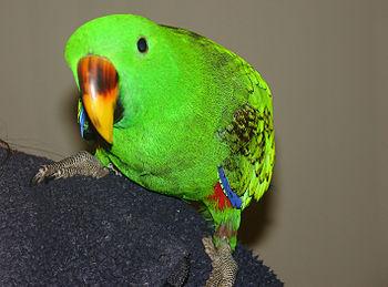 A pet juvenile male Eclectus Parrot perching o...