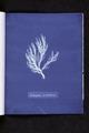 Ectocarpus siliculosus (NYPL b11861683-419717).tiff
