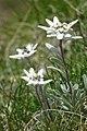 Edelweiss, South Tyrol 03.jpg