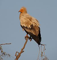 Egyptian Vulture 01.jpg