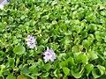 Eichhornia crassipes 7zz.jpg
