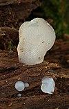 Eiszitterpilz Pseudohydnum gelatinosum.jpg
