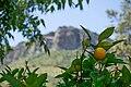 El naranjo en el poblado de Saucelle.JPG