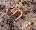 Elateridae. Beetle larvae (34120232555).jpg