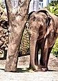 Elephant in Taronga Zoo (5410368925).jpg