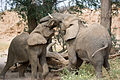 Elephants Fighting (3690385570).jpg
