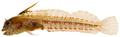 Emblemariopsis cf signifer - pone.0010676.g158.png