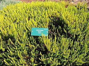 Empetrum nigrum - The yellow-leaved cultivar Empetrum nigrum 'Lucia'