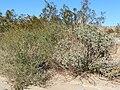 Encelia frutescens 6.jpg