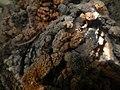 Encroutement algal ou bactérien sur restes de fil de pêche dans la Sèvre niortaise photo F Lamiot 16.jpg