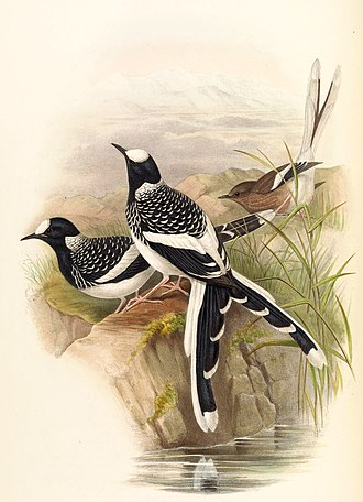 1831 in birding and ornithology - Enicurus maculatus, the spotted forktail was described by Nicholas Aylward Vigors in 1831