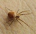 Enoplognatha ovata female (37638899932).jpg
