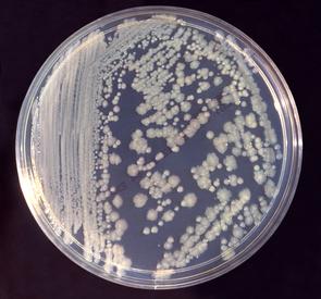 Enterobacter cloacaeKolonien auf einer Nähragarplatte