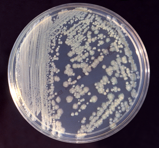 <i>Enterobacter cloacae</i> Species of bacterium