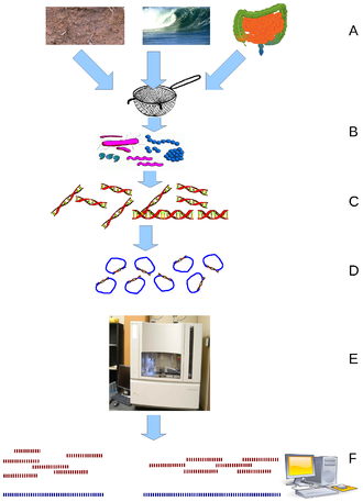 Metagenomics - Environmental Shotgun Sequencing (ESS). (A) Sampling from habitat; (B) filtering particles, typically by size; (C) Lysis and DNA extraction; (D) cloning and library construction; (E) sequencing the clones; (F) sequence assembly into contigs and scaffolds.