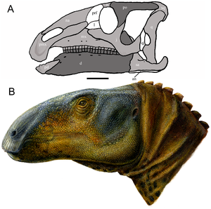 Hadrosauromorpha - Skull and restoration of Eolambia, possibly one of the most basal hadrosauromorphans