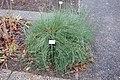 Ephedra gerardiana - Botanischer Garten, Dresden, Germany - DSC08778.JPG