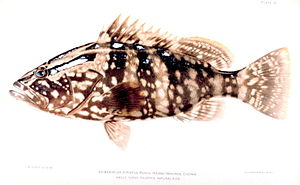 Nassau grouper - Nassau grouper
