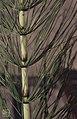 Equisetum telmateia, Tal-y-garn, Brynsadler, 1969 (31022335775).jpg