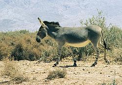 Equus africanus somaliensis.jpg