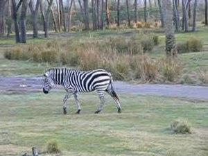 File:Equus burchelli bohmi.ogv