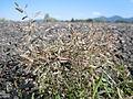 Eragrostis minor (6123796111).jpg