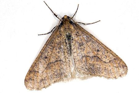 Erannis defoliaria, Lodz(Poland)03(js).jpg