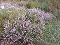 Erica herbacea1.jpg