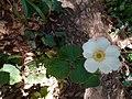 Eriocapitella × hybrida.jpg