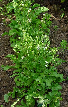 Eruca sativa 1 IP0206101.jpg